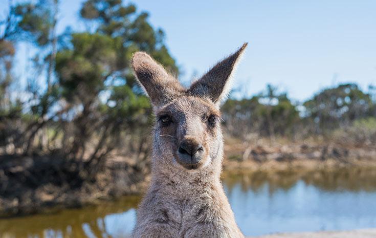 Cheeky kangaroo